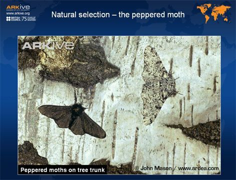 FREE Teaching resources for 14-16 year olds: Natural selection – the peppered moth Investigate a famous case study for evolution - the peppered moth.  http://www.arkive.org/education/teaching-resources-14-16#resourceNaturalSelectionThePepperedMoth