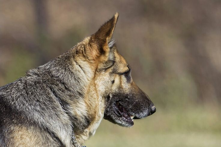 German shepherd puppies for sale www