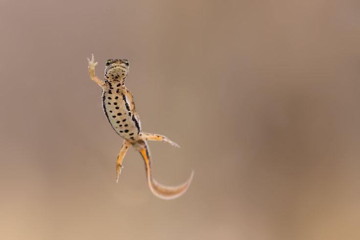 High five - Adult female smooth newt (Lissotriton vulgaris)