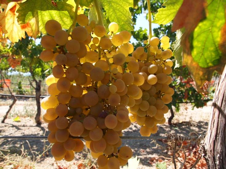 #Uvas blancas #Contiempo #Enoturismo #Viticultura