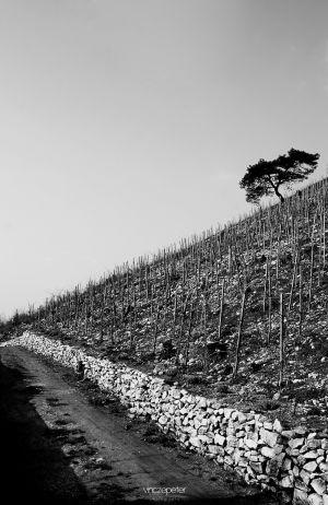 Sümegi Várhegy szőlőültetvény / Young Viniculture in Sümeg, Castle Hill ... by vincepeter.hu