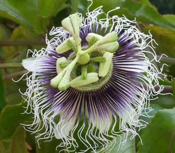 Passion Fruit Passiflora Edulis Ester 15 Fresh Seeds Beautiful Edible Tropical Passion Fruit Passiflora In 2020 Growing Vegetables Passiflora Mushroom Grow Kit