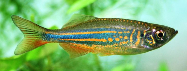 Giant Danio - Danio Balabaricus - Aquarium Fish Advisor