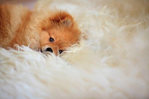 "Pomeranian on sheepskin헬로우카지노""ک`""ベ MKS884.COM ベ""ک`""헬로우카지노セ  헬로우카지노""ک`""ベ MKS884.COM ベ""ک`""헬로우카지노セⓒⓗⓐⓛⓔⓧ➓헬로우카지노""ک`""ベ MKS884.COM ベ""ک`""헬로우카지노セ"