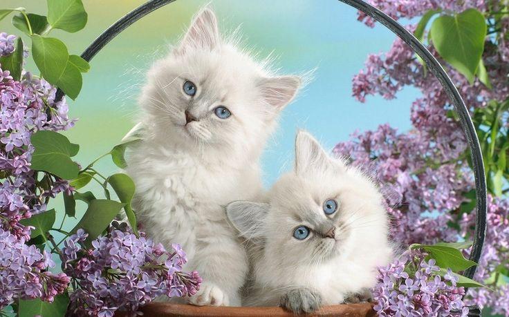 цветы,  Котята, пушистые, белые