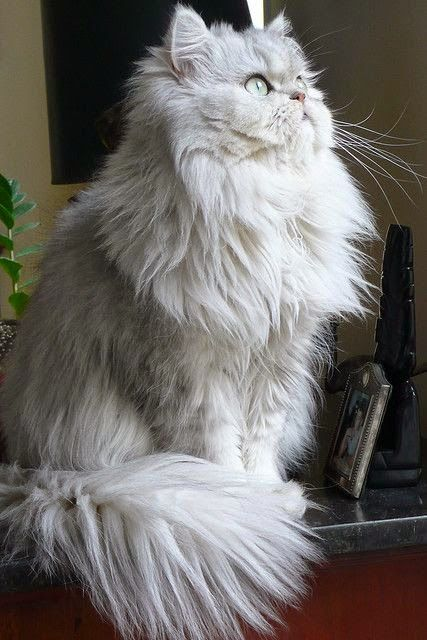 Persian long haired cat breeds