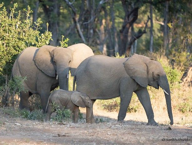 Breeding herd of elephants in Mana Pools #Zimbabwe #safari