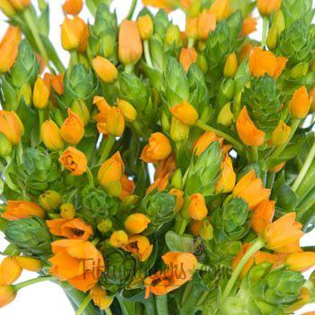 FiftyFlowers.com - Ornithogalum Orange Flower
