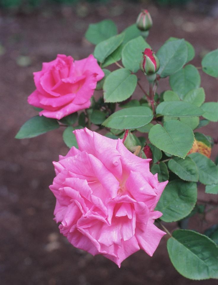 Rosa 'Zephirine Drouhin' - heerlijk geurende, doornloze klimroos, ook voor Noordmuur - 400 cm.