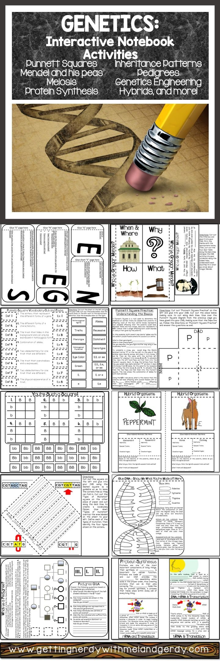 Over 20 Science Interactive Notebook activities covering Genetics, Punnett Squares, DNA, Hybrids & More!