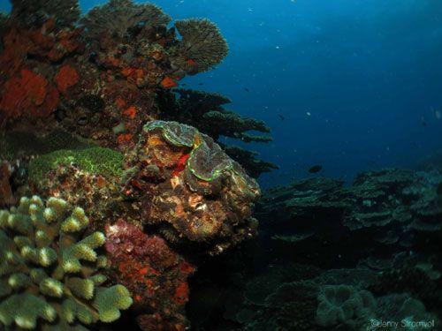 Giant clam in Techobanine bay. Ponta do Ouro Mozambique.
