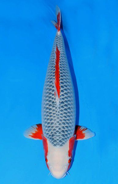 39 best images about fish on pinterest what is this for Koi variety chart