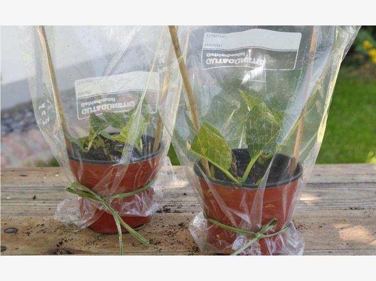 die besten 25 wann hortensien schneiden ideen auf pinterest pflanzen vermehrung daumen und. Black Bedroom Furniture Sets. Home Design Ideas
