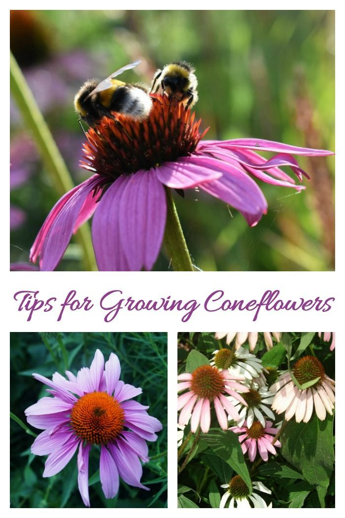 Growing Echinacea How To Care For Purple Coneflowers Beautiful Flowers Garden Echinacea Plants