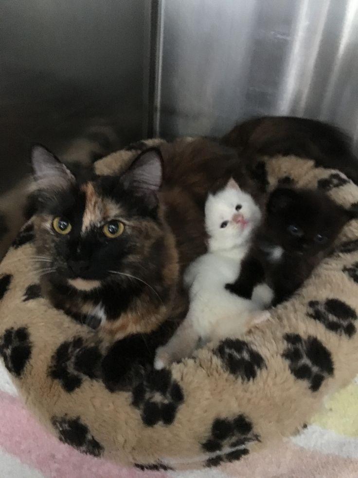 Adopt Pumpkin Pie On Petfinder Cat Adoption Cats And Kittens Pet Adoption