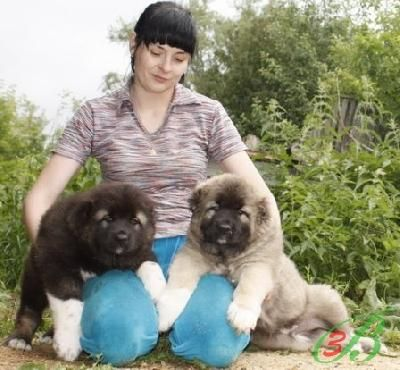 Caucasian mountain dog puppies -never heard of them, but they're adorable whatever they are.