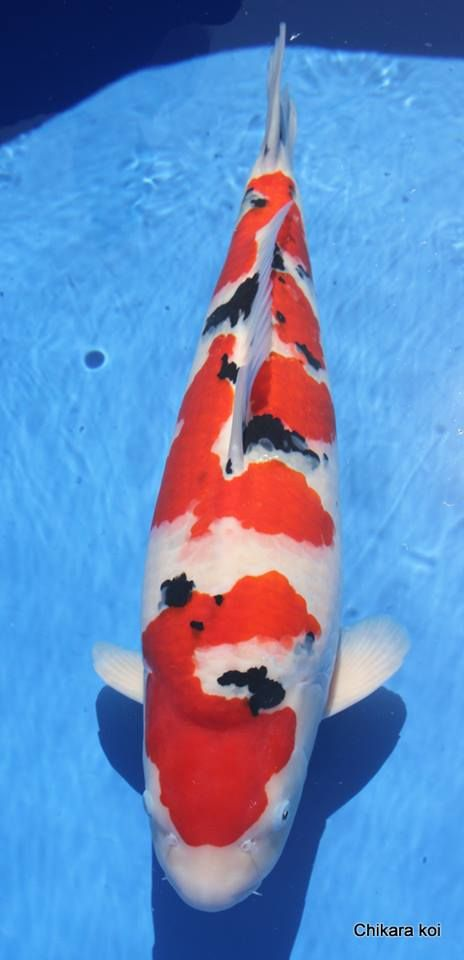 226 best koi breeds images on pinterest koi ponds koi for Koi show pools