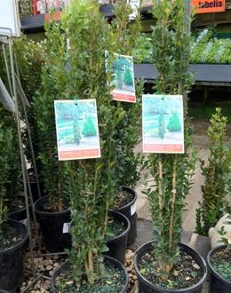 "Poyntons of Essendon - Buxus sempervirens ""Emerald Pillar"""