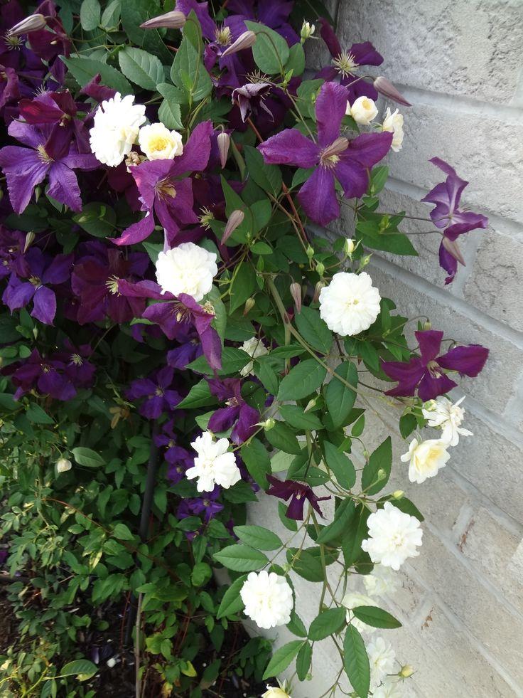 23 best images about rose end clematis on pinterest. Black Bedroom Furniture Sets. Home Design Ideas