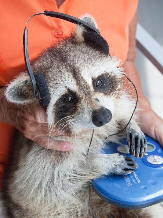 Two golfers bludgeoned a baby raccoon seven years ago on a North Carolina golf course. The pair road off in a golf cart, laughing, before the animal was taken in and given to a wildlife rehabilitator, Dorothy Lee. H eis now blind and cannot smell or feed himself, but he loves Opera. He was renamed Trouper. Trouper will be featured in an episode of the National Geographic TV show Unlikely Animal Friends, which airs Saturday at 8 p.m. ET.
