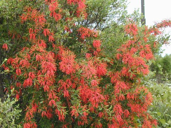 Embothrium coccineum   Trees   Patagonia Plants