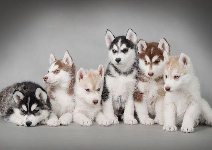 Siberian Husky Puppies Poster Art Print By Petsart Design Displate Dog Wallpaper Cute Husky Cute Animals