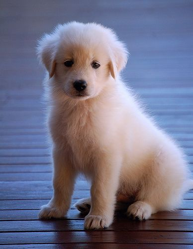 BBMaui, Kula, Maui. Seven week old Maremma puppy. They grow so fast. This one grew 25% in one week (6 lb @ 6 weeks and 7.6 lb @ 7 weeks).   Premium Dog Coverage! http://www.offers.couponrainbow.com/embrace-pet-insurance/