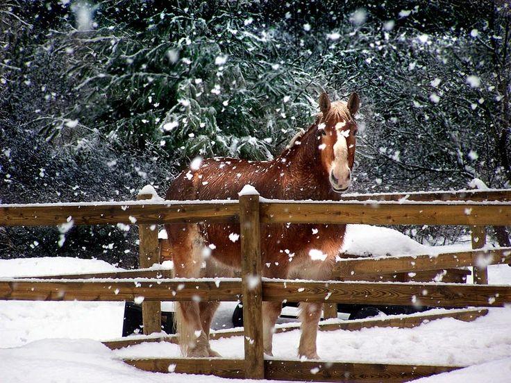 Horse in snow: Christmas Cards, Animal Hors, Winter Wonderland, The Farms, Holidays, Irene Orloff, Winter Coats, Orloff Images, Hors Beautiful