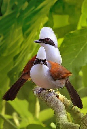 White-crested laughing bird of paradise