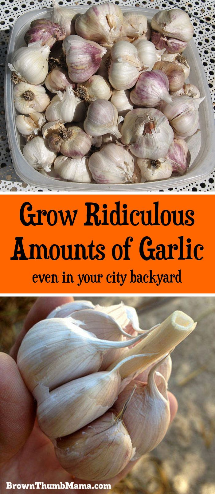 Grow Ridiculous Amounts of Garlic (even in your city backyard)