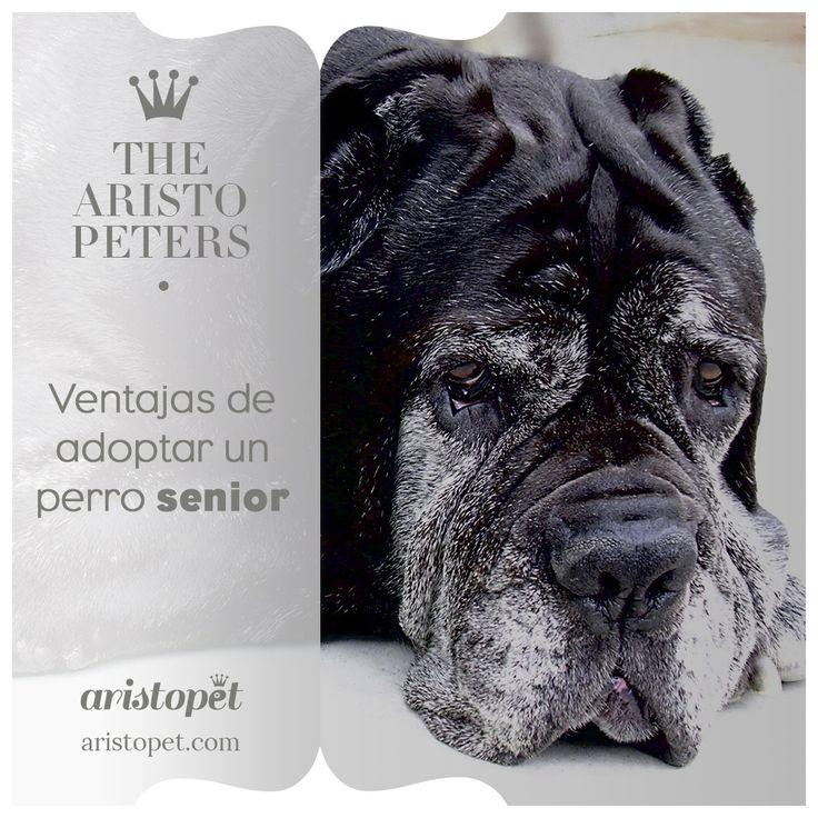 Los ARISTOPERROS senior son, lamentablemente, los que tardan más en ser adoptados. Generalmente los cachorros son los más buscados debido a la ternura que inspiran y toda la vida que le queda por delante junto a su futuro ARISTOPADRE. Sin embargo, adoptar a un perro senior tiene muchas ventajas, más de lo que imaginas ¿Quieres saberlas? visita https://aristopet.com/the-aristopeters/