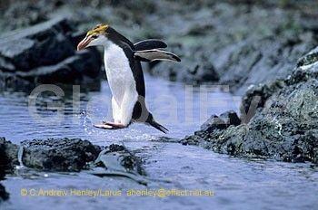 PENGUIN, Royal - Eudyptes schlegeli . Royal penguin jumping across narrow water channel, Sandy Bay, Macquarie Island. Photograph By Andrew   Henley #BirdsPhotography