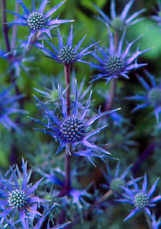 Blue Sea Holly: Cardoon, Blue Sea, Flowers Flowers, Lavender Blues, Sea Holly, Plants Flowers Grass