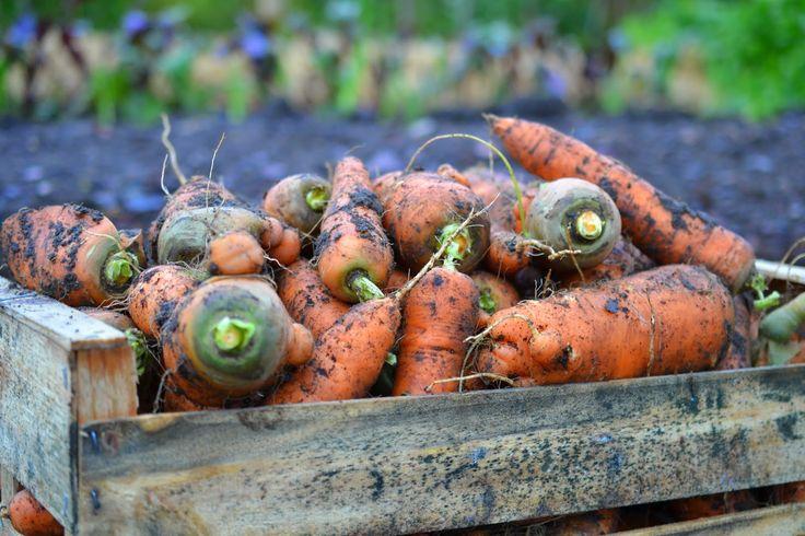 Vinterns behov av morötter är fixat. Jag har skördat allt vi behöver! http://skillnadenstradgard.blogspot.se/2014/11/morotsfrossa.html #trädgård #odla #garden
