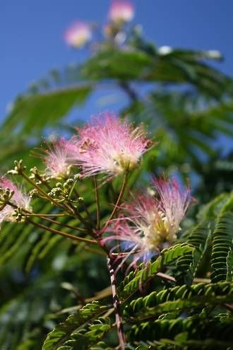ALBIZIA JULIBRISSIN - Silk Tree - Deciduous well drained soil, shade yellow leaves in autumn