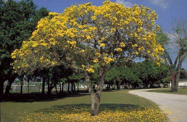 Tipuana tipu, aka: rosewood, yellow jacaranda, pride of ...