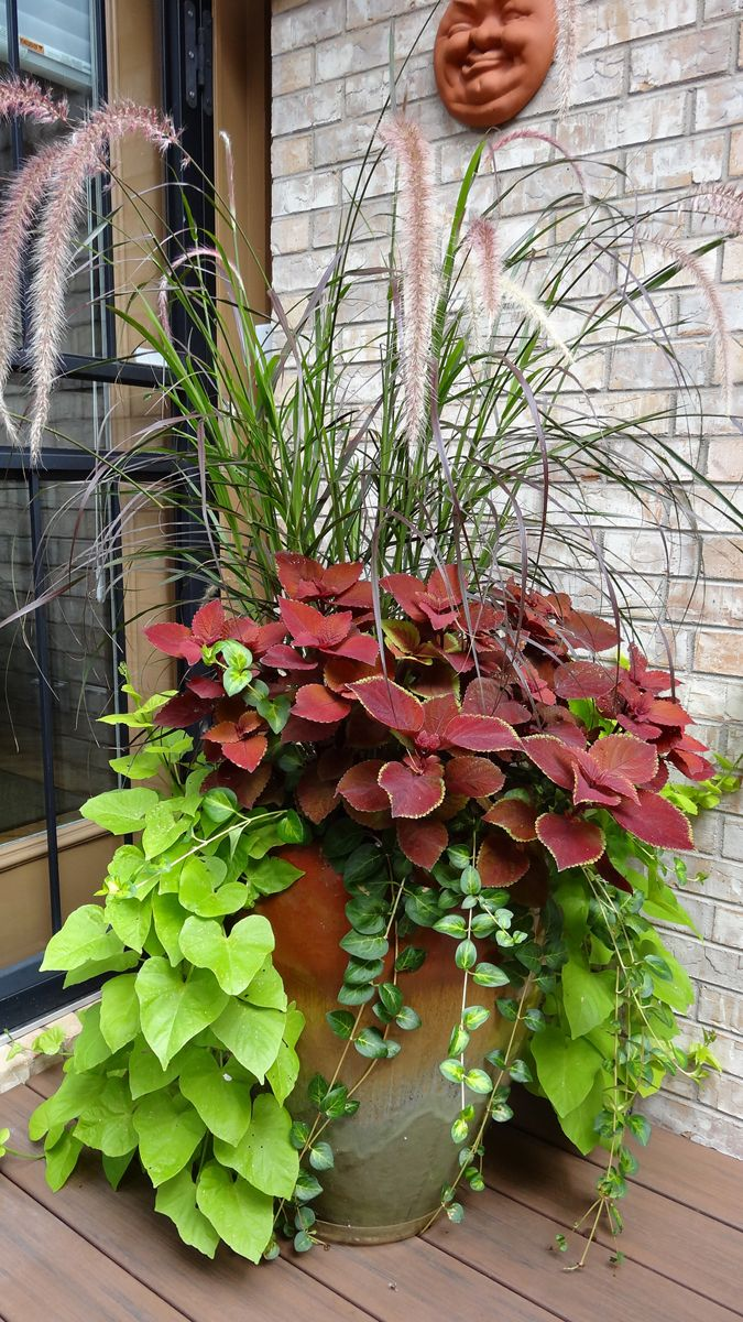 container of Pennisetum Coleus, Helichrysum and sweet potato vine--love the look on the greenman face on the wall