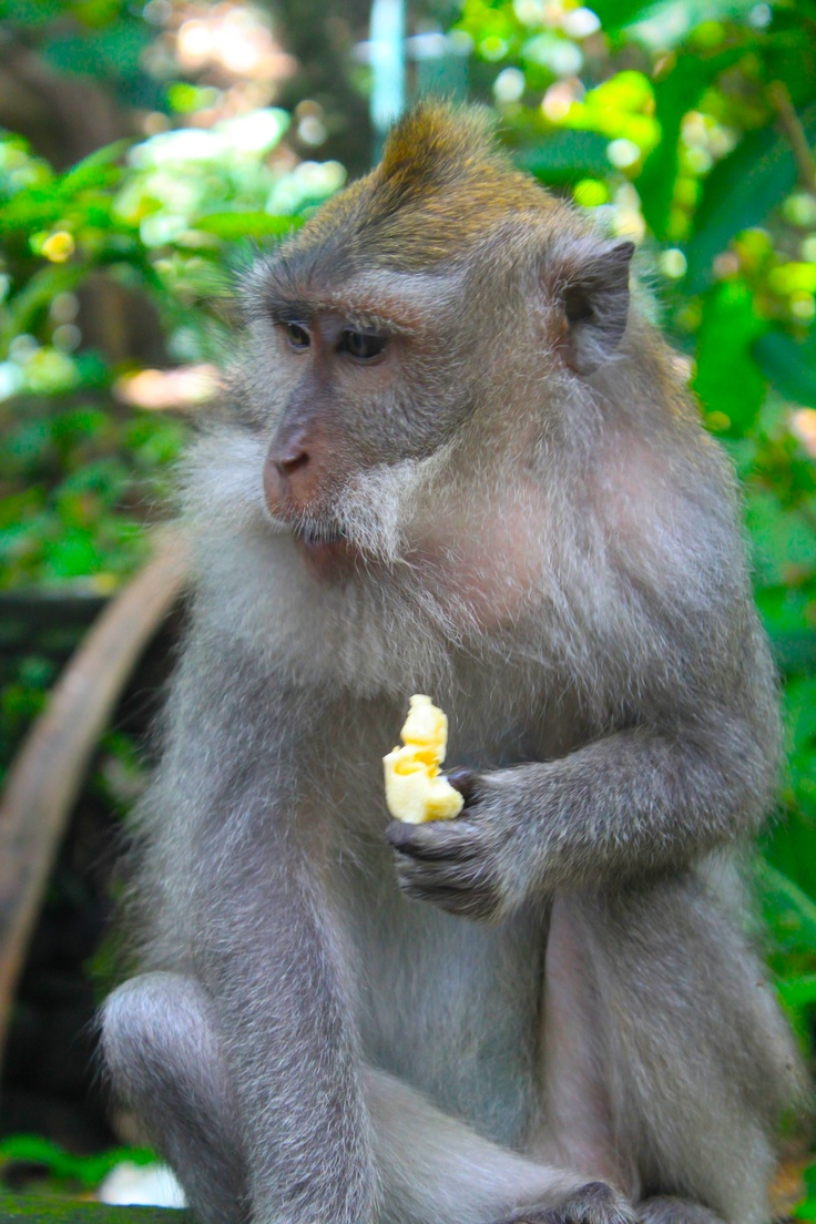 A monkey enjoying the banana