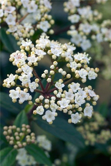 23 best flowering this month november images on pinterest white viburnum tinus eve prince evergreen shrub grown for its dense dark green foliage and mightylinksfo