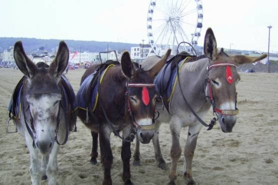 Donkey rides at weston