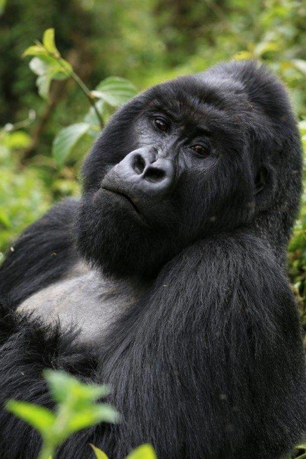 Ruanda Dağ Gorilleri:İşte Sabyinyo ailesinin reisi 44 yaşına gelmiş Guhonda,hayatının son demlerini yaşamakta olan gümüş sırtlı.
