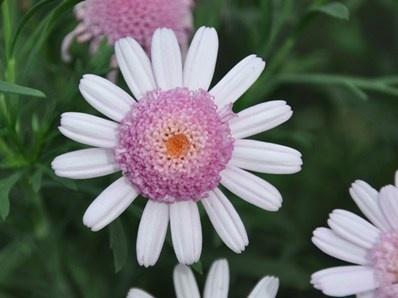 Pacific Candy: Argyranthemum hybrid 'Pacific Candy' har lyserøde blomster med en tydelig hvid rand (anemone). Lav, tæt og kompakt vækst med blågrønt løv. Højde x bredde: ca. 30 cm x 30 cm. Blomstrer fra april til september.