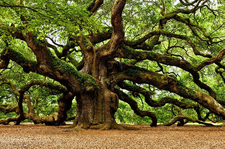 Mystical Angel Oak Tree Photograph by Louis Dallara