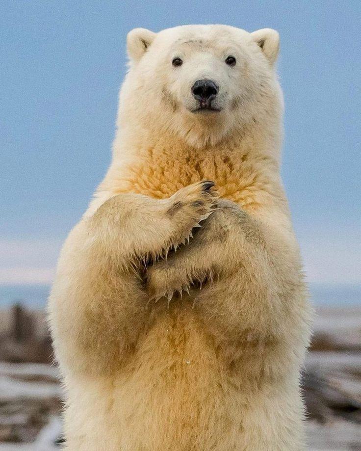 Добавить открытку, веселые картинки белые медведи