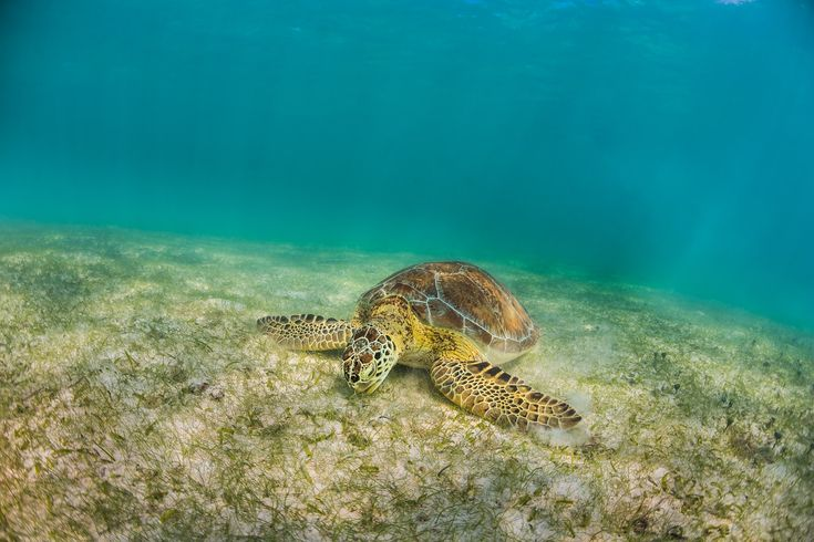 Photographer Anhede – Kickass photos. No more. No less. – Nom nom nom is the sound of this sea turtle eating =)    #tortuga #seaturtle #havssköldpadda #underwater #underwaterphotographer #underwaterphotography #underwaterphoto #uvfoto #undervattensfoto #undervattensfotograf #caribbean #karibien #mexico #mexiko #akumel #tulum #anhede #nomnomnom #ocean #water #endangered #tortoise #chelonioidea