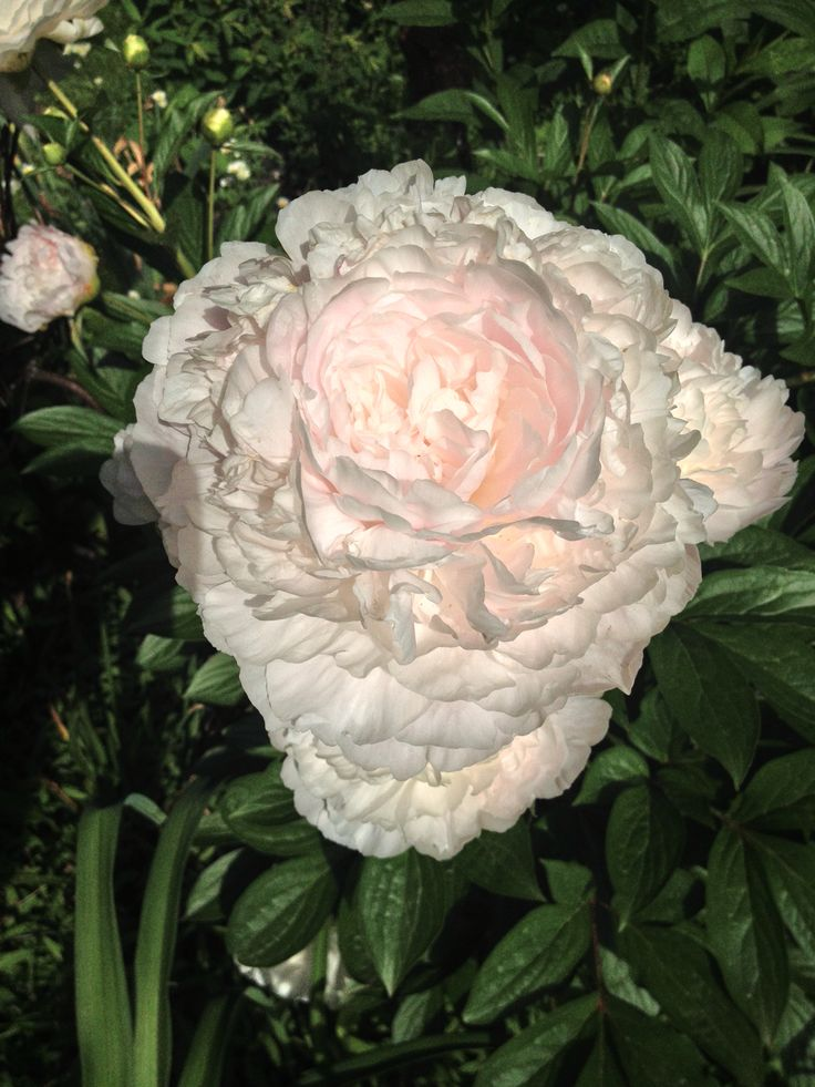 This is peony 'Doris Cooper'  blooming in my garden. Look at the inner glow. Highly recommend this variety, but she needs support.