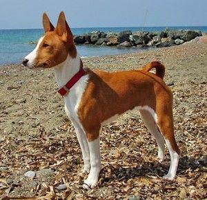Basenji é a raça de cachorro que não Late