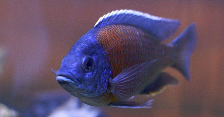 Enfermedades del cíclido africano. Los cíclidos africanos son peces de agua dulce y pueden experimentar cualquier enfermedad de los peces de agua dulce, muchas de los cuales pueden ser causadas por la mala calidad del agua o la introducción de peces enfermos al acuario. El cíclido parecerá enfermo o actuará extraño.