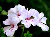 Beyaz Sardunya http://www.fidanistanbul.com/urun/2807_beyaz-sardunya.html sipariş için 0226 814 00 41 Fidan Satışı, Fide Satışı, internetten Fidan Siparişi, Bodur Aşılı Sertifikalı Meyve Fidanı Süs Bitkileri,Ağaç,Bitki,Çiçek,Çalı,Fide