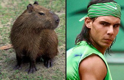 glaring capybara
